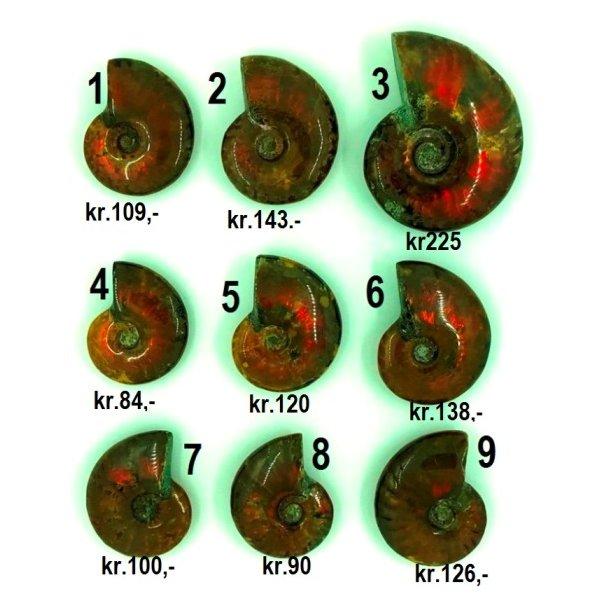 Ammonitter fra canada i topkvalitet.